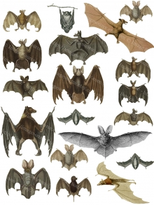 Bats  Clipart, Vintage Illustrations, Natural History Scans